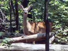 A deer roams Umstead Park.