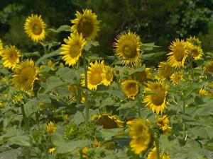 Raleigh planted about 50 acres near its wastewater treatment plant with sunflowers to produce biofuel.
