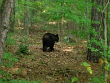 Steve Jones, a Triangle blogger, took this picture of a bear Saturday, June 28, 2009, in a wooded area between Edison Johnson Rec Center, on Murray Avenue, and Durham Regional Hospital, on Olympic Drive, off Roxboro Street. (Photo courtesy of Steve Jones)