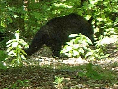 Anna and Andrew Mosie spotted this bear at about 12:30 p.m. Sunday at 213 Vanderbilt Court in Durham.