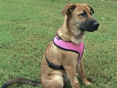 """Officers had been calling the rescued dog """"Miracle,"""" and her new owner thought the name fit and kept it."""
