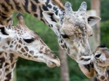 MONDAY: A newly born male Masai Girraffe, right, is tended to by his brother Jack, left, and father Kiva at the Houston City Zoo in Houston.  (AP Photo/Houston Chronicle, Nick de la Torre)