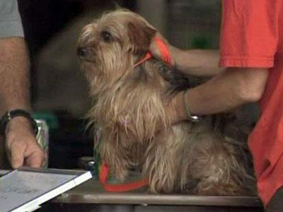Authorities examined a dog at the Wilson County Fairgrounds on Aug. 28, 2009. The dog is one of more than 200 seized because they were said to be living in poor conditions at the same home.