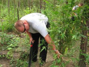 Law enforcement agents cut down and confiscated the marijuana plants.