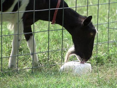 Goats are an attraction for children at the Amazing Acres in Holly Springs.