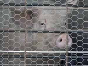 About 25 hog farms in North Carolina sit idle and another eight are on the brink of closing.