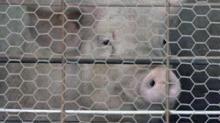 IMAGES: Hog farms face tough times