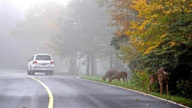 It was a rainy, foggy morning at Grandfather Mountain Tuesday, but our visitors got to see wild deer beside the road with fall leaves in the background. The sun came out after lunch and the forecast is for things to be much brighter for the remainder of the week. (Photo by Catherine Morton/Grandfather Mountain)
