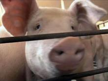 Four N.C. pork producers go under