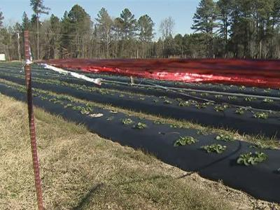 Roger and Jean Copeland, who own Jean's Berry Patch in Apex, have covered their strawberry crops, put up fencing and used ribbon in attempts to thwart deer's feasting.