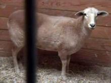 Caramel is the only sheep at the Barrington House in Dunn to survive a Dec. 26, 2009, attack by stray dogs.