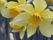 Daffodils bloom in Winterville