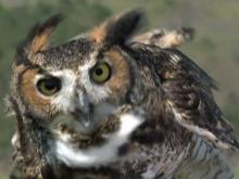 Great horned owl returns to sky