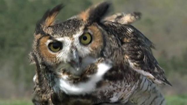 Great horned owl returns to sky