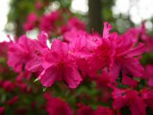 Azalea garden_14
