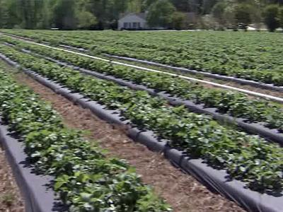 Horticulture experts expect some of the best strawberry crops in years because of ideal growing conditions.