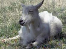 Goat herd not infected with rabies