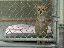 A dog awaits adoption at the Wake County Animal Care, Control and Adoption Center.