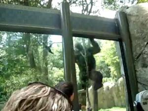 Amateur video shows a gorilla at the N.C. Zoo.
