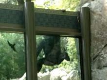 YouTube video: Gorilla's attempted zoo escape