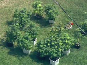 Johnston County Sheriff's deputies collected marijuana plants in the yard outside 280 Old Stage Road in Willow Spring.