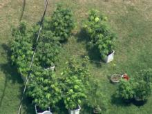 Deputies seize marijuana plants from Willow Spring home