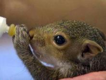 Squirrel delivered to rehab by cab