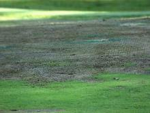 Summer heat takes toll on golf greens