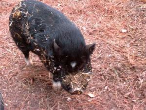 Blue was a pot-bellied pig.