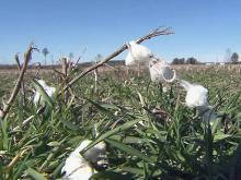 NC farmers bet on growing cotton demand