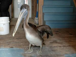 Ralph, a brown pelican from Florida, was blown far off-course by Hurricane Earl and landed in Nova Scotia. He was taken to the Outer Banks Wildlife Shelter in Newport, N.C., where he'll recuperate before being released into the wild. Photo courtesy of Garry Sowerby.