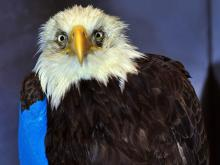 A bald eagle died March 29, 2011, after it was found shot in Warren County nine days earlier, according to state and federal wildlife officials.