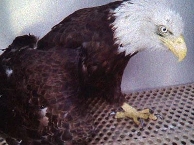 This bald eagle died March 29, 2011, after it was found shot in Warren County nine days earlier, according to state and federal wildlife officials.