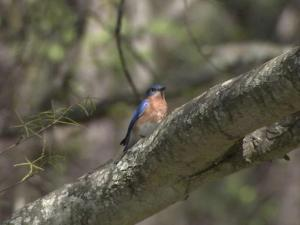 Bluebirds need a hollowed-out place to roost.