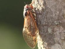 'Alien buzz' kicks off cicada mating season