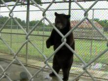 Treatment of bear at Fayetteville ranch sparks debate