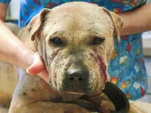 An undercover investigator bought this dog, Hugo, in April 2010 during a dog-fighting investigation.