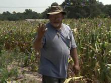State's corn crops parched by record heat