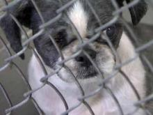 Blackbeard, a 3-year-old Shih Tzu with one eye, was one of 70 animals seized from a Raleigh home on Aug. 4, 2011. He has found a new home.