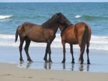 Wild horses roam Carova Beach, north of Corolla, on the Outer Banks.