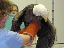 Bald eagle to be released Saturday