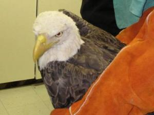 A bald eagle found at the Wake County landfill will be released back into the wild Saturday after being rehabilitated for the last three months.