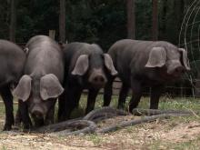 Hogs on Ray family farm