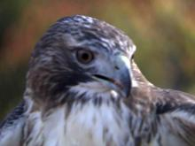 Rattled red-tailed hawk returns to NC