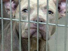 Limiting adoptions of some dog breeds creates backlash