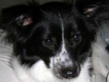 Stella, missing border collie