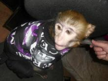 Toby the rhesus monkey