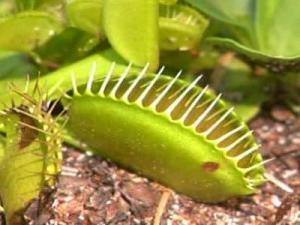 Poaching threatens Venus Flytraps in NC