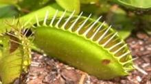 IMAGE: House makes Venus flytrap theft a felony