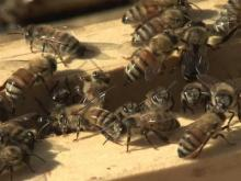 Bees could send Louisburg woman to jail